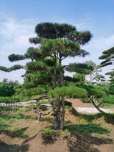 山東泰安|造型松|平頂松|迎客松|景觀松