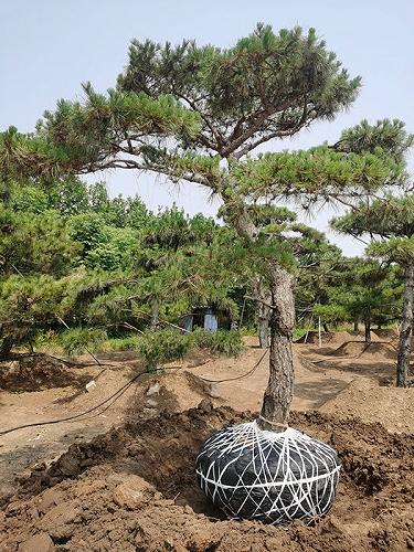 泰安造型油松|泰安造型黑松|泰安造型松