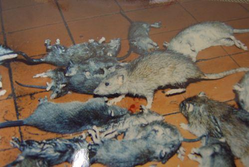 浠水灭老鼠除虫消杀公司
